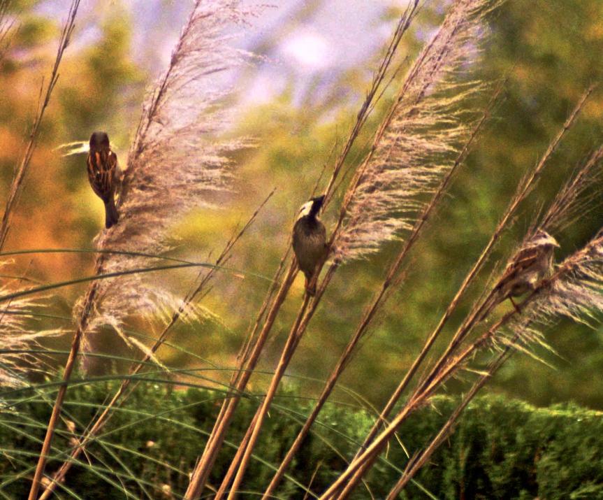 Sparrow grass